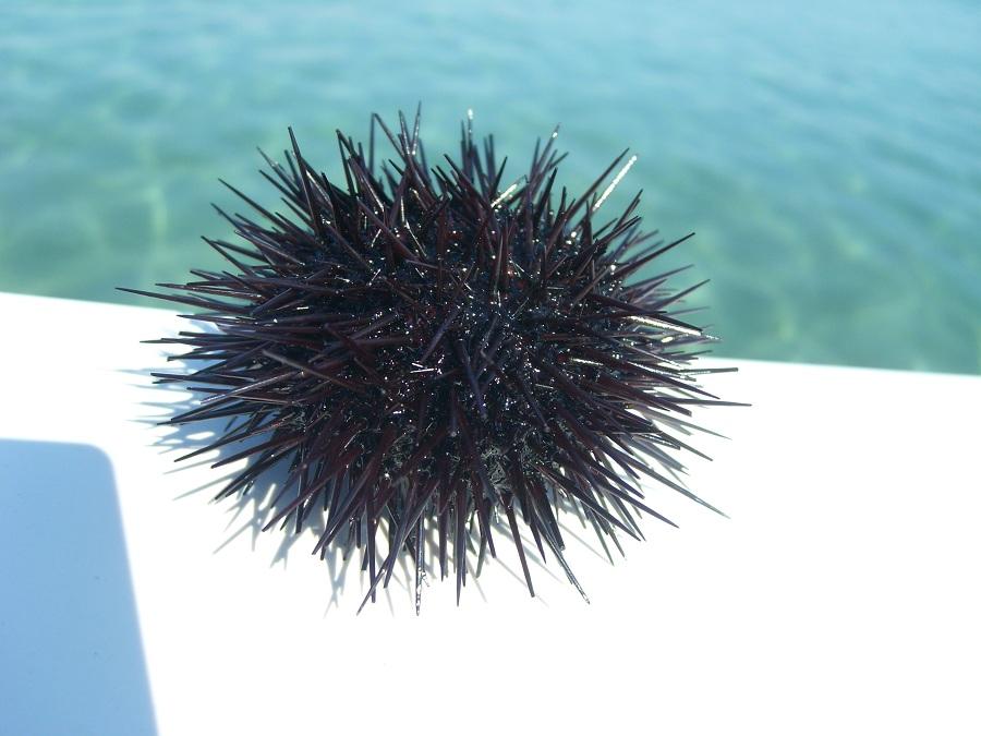 Отдых в Хорватии, морской еж