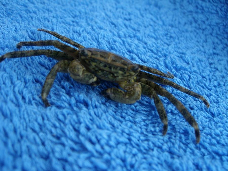 Отдых в Хорватии, морской крабик