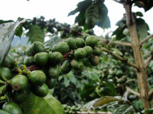 Экскурсия в Далат - на кофейной плантации